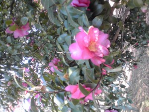 サザンカの咲く季節になりました