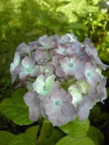 紫陽花2011