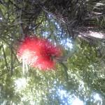 ブラシの木です